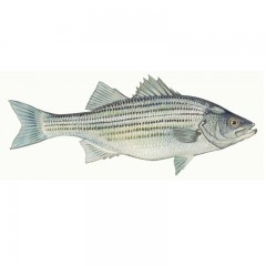 Striped bass fishing gear - Fish by Species