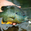Fly Fishing for Panfish