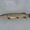 Improving Your Success For Winter Pike