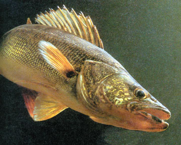 Tips and Techniques for Catching Walleye